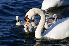 The mute swan is getting the food for his children - stock photo