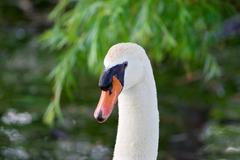 Stock Photo of Confident strong mute swan is looking straight