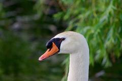 The portrait of the mute swan - stock photo