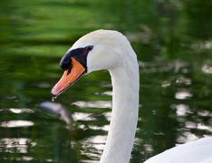 The mute swan seems to be unsure - stock photo