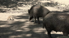 Wild boars with babies under tree shadow sandy ground Stock Footage