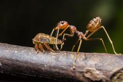 Ant is suck nectar of aphids - stock photo