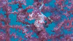 Three Pink Pygmy seahorses Stock Footage