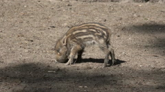 Cute young boar baby relaxed with mouth in sandy ground Stock Footage