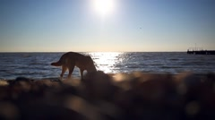 Homeless dog eats a fish on a sunset beach at blurred bokeh background Stock Footage