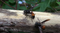 Lesser Banded Hornet (Vespa affinis) Macro - 2 Stock Footage
