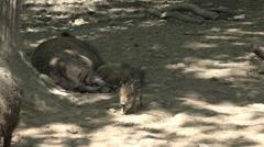 Young boar following wild boar mother under tree shadow Stock Footage