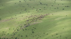 A large flock of sheep up steep meadow of fast motion Stock Footage