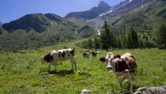 Cow in the Alps Stock Footage