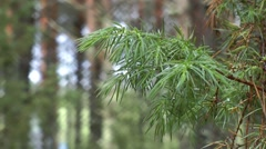 Pine branch with diamond shaped bokeh Stock Footage