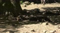 4k Wild boars with thursty young boars sleeping in tree shadow Footage