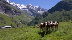 Four abondance cows in front of Alps mountains Stock Footage