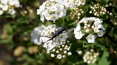 Beetle longhorn Stock Footage
