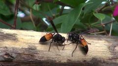 Lesser Banded Hornet (Vespa affinis) Macro  Stock Footage