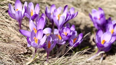 Beautiful spring crocus close-up background HD Stock Footage