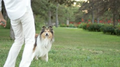 Collie playing with a ball Stock Footage