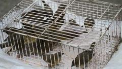 Ricebird Group In Cage For Sell Stock Footage
