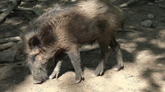 Freaky wild boar close up under tree shadow at a sunny day - stock footage