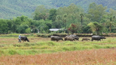 Asia Buffalo Group In Countryside Field Of Thailand Stock Footage