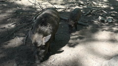 Wild boars frontal under tree shadow at a sunny day Stock Footage