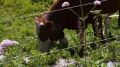 Cow walks behind the fence Stock Footage