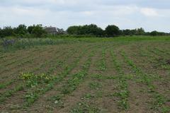 Soy field. - stock photo