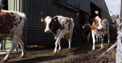 Red Holstein cows leaving the barn, agriculture 4K Arkistovideo