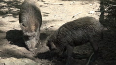 Stock Video Footage of Dirty wild boars on muddy ground at a sunny day