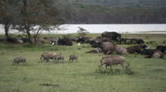 Wild boars and water buffalo in lake Nakuru, Kenya wildlife Stock Footage