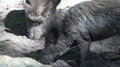 Stock Video Footage of 4k Dirty wild boars very close up on muddy ground
