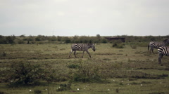 Zebras grazing green savannah, Samburu, Kenya, Africa safari Stock Footage