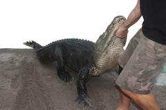 Person performing a stunt with alligator - stock photo