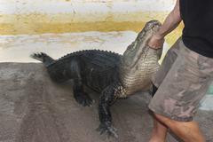 Alligator Hunting - stock photo