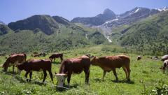Cows in the Alps mountains Stock Footage