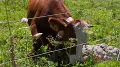 Cow grazes under the fence Stock Footage