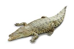 Roaring crocodile isolated in white background - stock photo