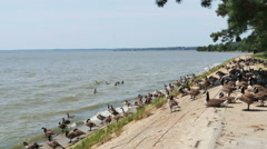 3799 Hundreds of Geese in River, 4K Stock Footage