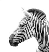The head of a zebra isolated in white background - stock photo