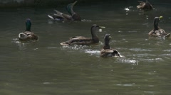 Mallards, Wild Ducks, Rushed to The Food, Food is Falling, Catch the Food Stock Footage