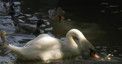 Mallards, Wild Ducks, And White Swan Are Floating and Feedind in the Pond, Stock Footage