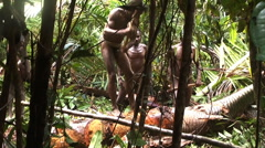 Tribesmen chopping tree with axes together. Papua, New Guinea. Dani tribe life Stock Footage