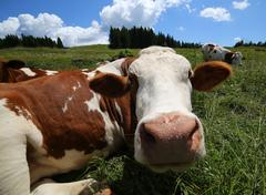 Cow snout photographed with fisheye lens Stock Photos