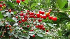Juicy red cherries ripening on a tree branch Stock Footage