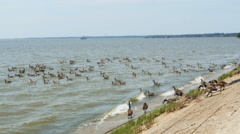 3808 Hundreds of Geese Getting into the River, 4K - stock footage