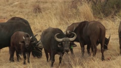 Buffalos sniffing the air Stock Footage