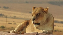 Lazy female Lion Stock Footage