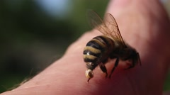 Bee Sting - a weapon of defense and attack. Stock Footage