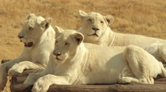 White female lions Stock Footage