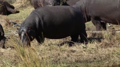 Hippo grazing in the field Stock Footage