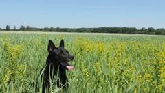 Husky in field Stock Footage
